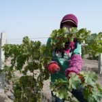 lilian carter wang zhong winery worker xinjiang china