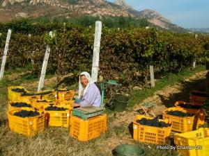 grape-wall-of-china-chantal-china-terroir-in-china-article-17