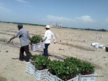planting vines at a new operation in ningxia