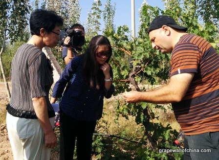 Ningxia Winemakers Challenge 2015 Checking Grapes at the Competition Vineyard