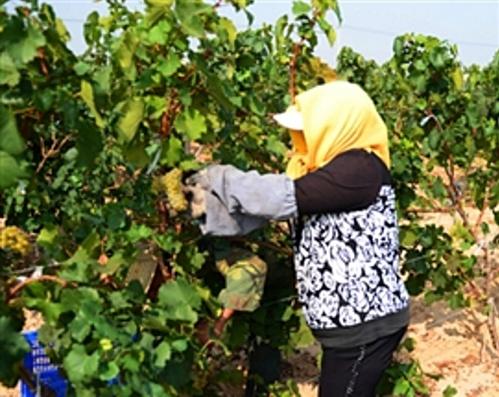 amethyst manor winery huailai hebei 14